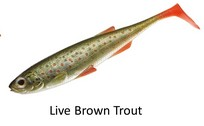 Live Brown Trout